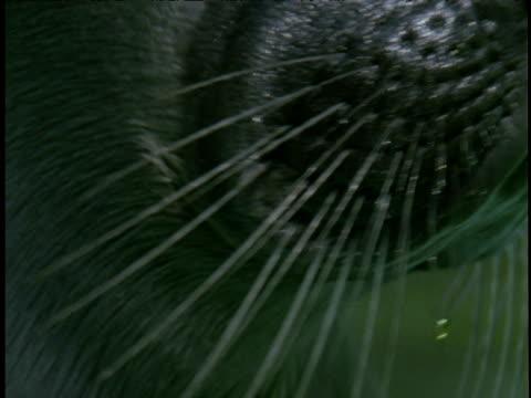 vídeos de stock, filmes e b-roll de tilt down from seal's eye to nose and whiskers - bigode de animal