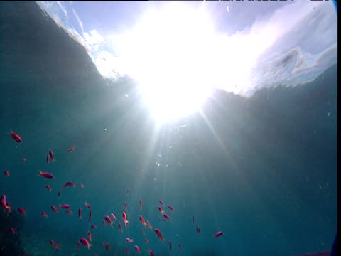 tilt down from sunburst water surface to colourful reef fishes, sulawesi - wirbelloses tier stock-videos und b-roll-filmmaterial