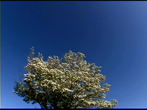 tilt down from the sky to dogwood tree in field - dogwood stock videos & royalty-free footage