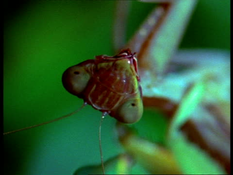 stockvideo's en b-roll-footage met bcu tilt down from upside-down head of female praying mantis (sphodromantis lineata) to male during mating - vrouwtjesdier