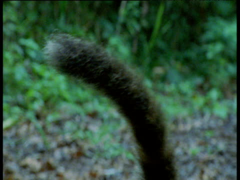 Tilt down from waving tail to coati foraging in leaf litter, Brazil