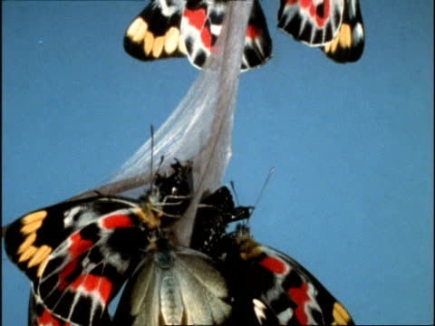 cu tilt down, group of common jezebel butterfly (delias nigrina) resting on branch after emerging from pupae, australia - emergence stock videos & royalty-free footage