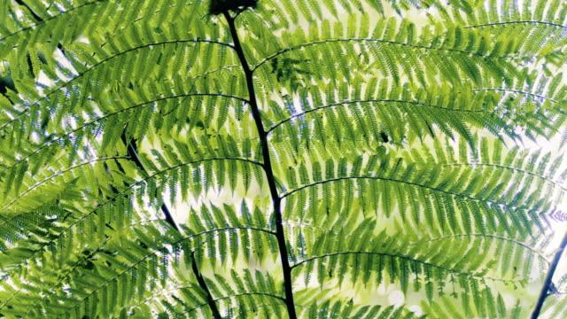 Tilt down movement in a golden serpent fern inside a tropical forest