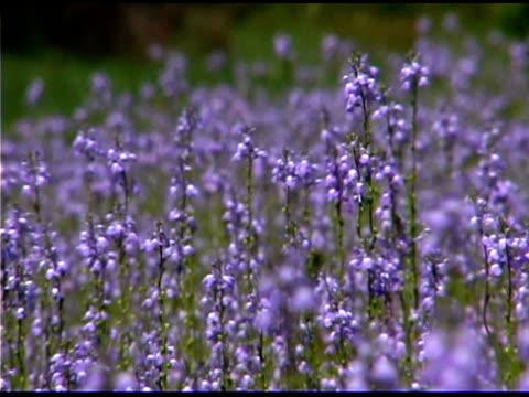 Tilt down of blue columbine flowers blowing in the wind
