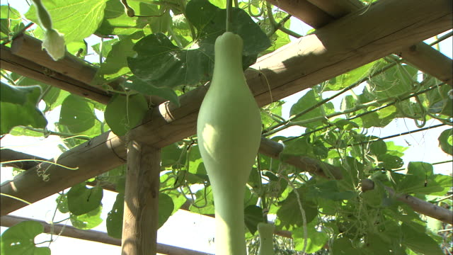 tilt down on green gourd hanging on arbour - gourd stock videos & royalty-free footage
