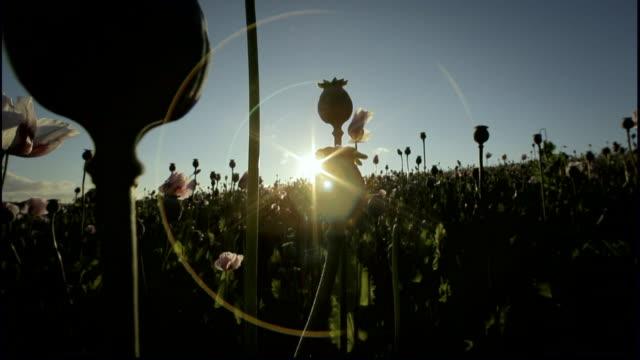 tilt down opium poppies - flower head stock videos & royalty-free footage