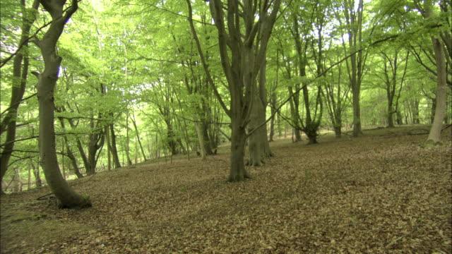 tilt down over beech (fagus sylvatica) woodland, uk - beech tree stock videos and b-roll footage