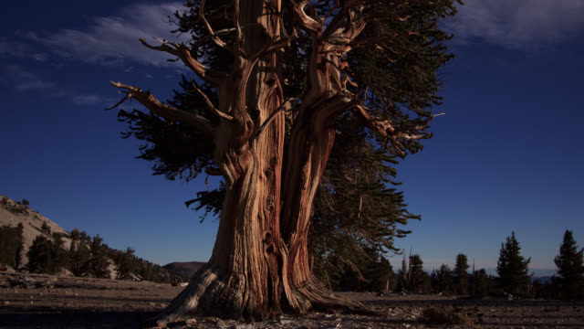 tl tilt down over bristlecone pine tree, california, usa - tree stock videos & royalty-free footage