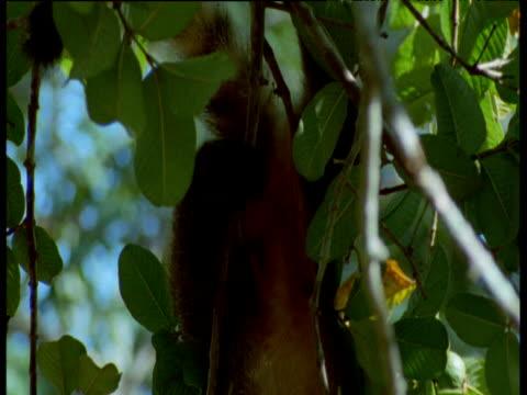 Tilt down over coati hanging upside down eating fruit, Brazil