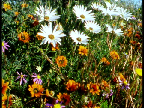 Tilt down over colourful flowers on South African veldt, including cape daisies