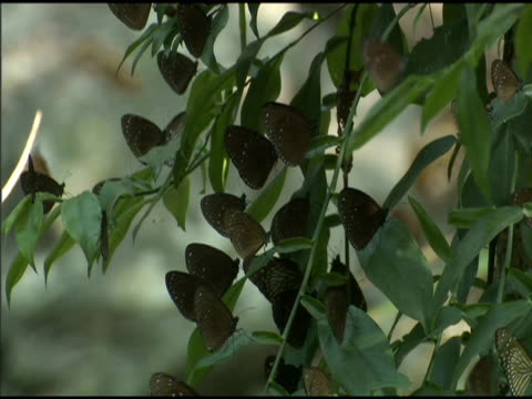tilt down over flock of purple crow butterflies perched on foliage in forest - taiwan stock videos & royalty-free footage