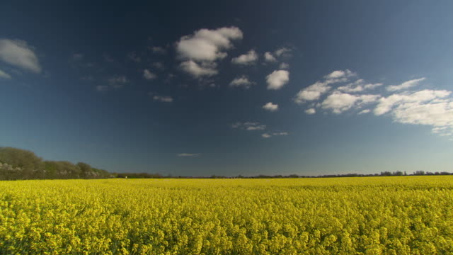 tilt down over flowering oilseed rape crop, uk - ティルト点の映像素材/bロール