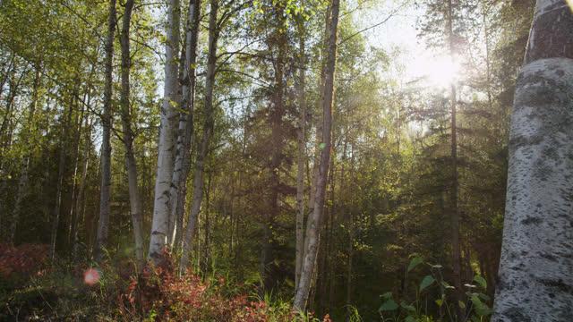 tilt down over silver birch trees, alaska - カバノキ点の映像素材/bロール
