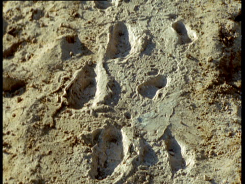 tilt down over trackways of male, female and juvenile footprints of early bipedal human ancestor (australopithecus afarensis), 3.6 million years old, laetoli, tanzania - footprint stock videos & royalty-free footage
