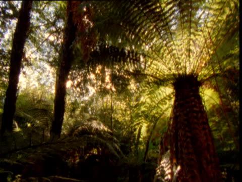 vidéos et rushes de tilt down over tree ferns in forest, new zealand - fronde