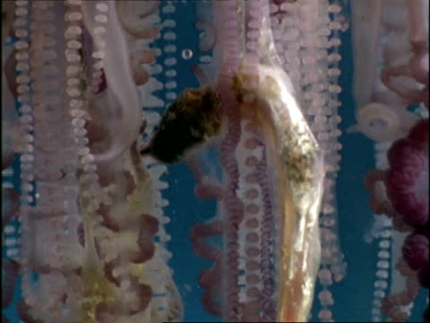 cu tilt down partially digested fish in tentacles of portuguese man of war jellyfish (physalia physalis), bermuda - tentacle stock videos & royalty-free footage