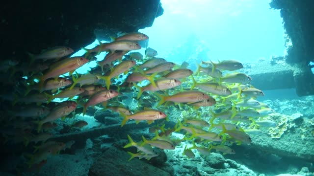 Tilt Down: School of Fish Travelling in the Waters of Lahaina Hawaii