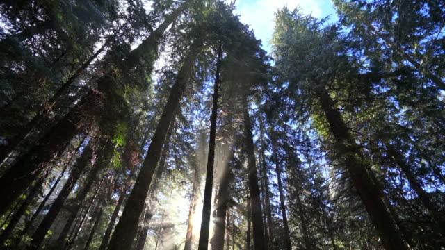 tilt down shot of snowfall through tall trees in woodland at famous garibaldi provincial park - cheakamus lake, british columbia - garibaldi park stock videos & royalty-free footage