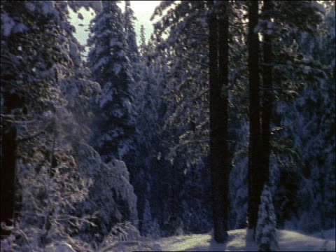 tilt down pan snow covered pine trees in forest - pinaceae stock videos & royalty-free footage