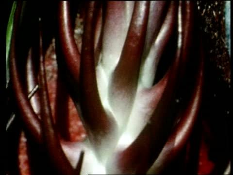 bcu tilt down stem of dead horse arum lily, sardinia - ユリ点の映像素材/bロール