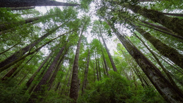 stockvideo's en b-roll-footage met tilt down time lapse shot of tall redwood trees in green jungle - oregon, oregon - sequoiafamilie