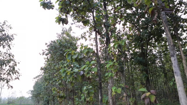 tilt down to a teak tree on a field near bagdogra - west bengal stock videos and b-roll footage