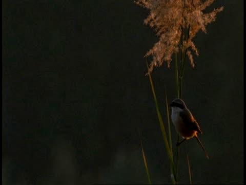 ms tilt down to baybacked shrike, lanius vittatus, sitting in tree, bandhavgarh national park, india - national icon stock videos & royalty-free footage