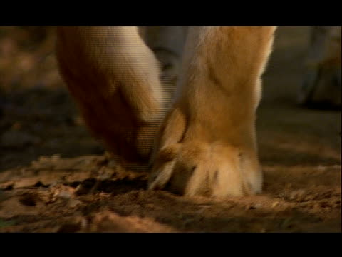 bcu tilt down to follow bengal tiger feet walking, bannerghata np, india - 動物の足点の映像素材/bロール