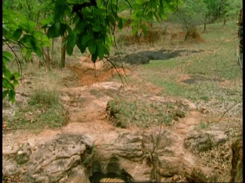 ms tilt down to royal bengal tiger, panthera tigris tigris, lying in pool, bandhavgarh national park, india - bandhavgarh national park stock videos and b-roll footage