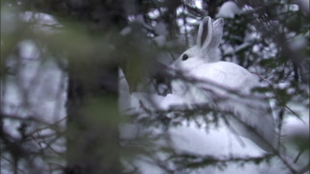 Tilt down to snowshoe hare (Lepus americanus) in snowy forest, Yellowstone, USA
