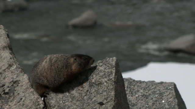 Tilt down to Yellow bellied marmot on rock