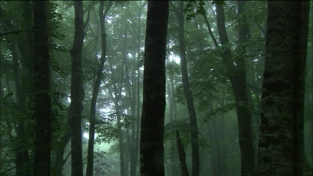 tilt down torrential rain falling in forest of beech trees, shirakami mountains, akita, aomori, japan - torrential rain stock videos & royalty-free footage