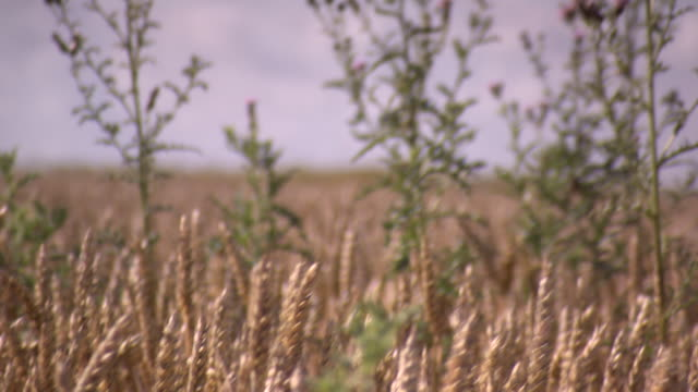 Tilt from wheat to thistles 'dancing' in a breeze in a region heavily affected by WWI, Hauts-de-France.