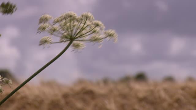 Tilt from wildflowers to wheat in a field in the Somme region, Hauts-de-France.
