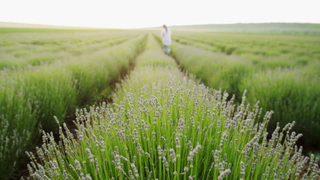 tilt shot of  a farmer woman examining the new harvest of the blooming lavender plantation. agricultural occupation. bulgarian lavender fields. - agricultural occupation stock videos & royalty-free footage