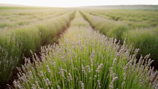 tilt shot of the new harvest of the blooming lavender plantation. agricultural occupation. bulgarian lavender fields. - agricultural occupation stock videos & royalty-free footage