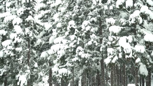 傾斜: 白川郷村松の林を雪があまりにも多く - wood material点の映像素材/bロール