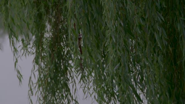 cu tilt up a willow - trauerweide stock-videos und b-roll-filmmaterial