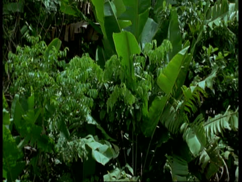 ms tilt up across giant heliconia and dense vegetation, south america - heliconia stock videos & royalty-free footage