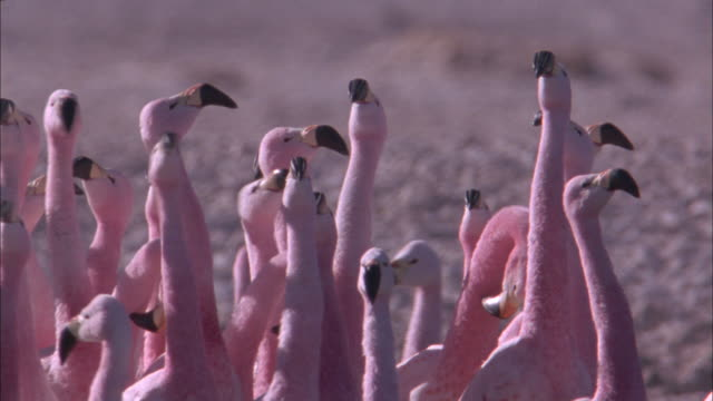 vídeos de stock, filmes e b-roll de tilt up and down andean flamingo courtship dance available in hd. - acasalamento de animais