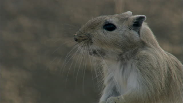 tilt up and down great gerbil, kalamaili nature reserve, xinjiang, china - animal whisker stock videos & royalty-free footage
