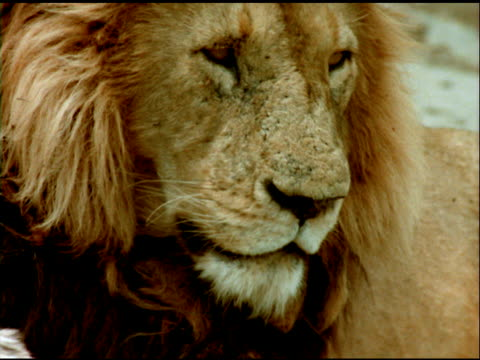 tilt up and zoom out from face of lion, lying down and breathing quickly, tanzania - 姿勢をとる点の映像素材/bロール
