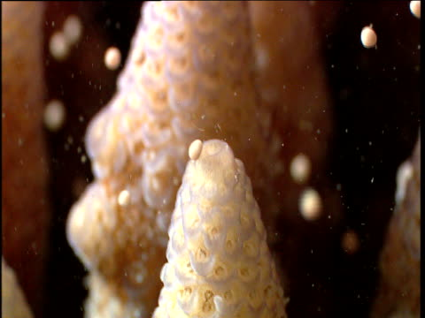 Tilt up as coral eggs are released, Lizard Island