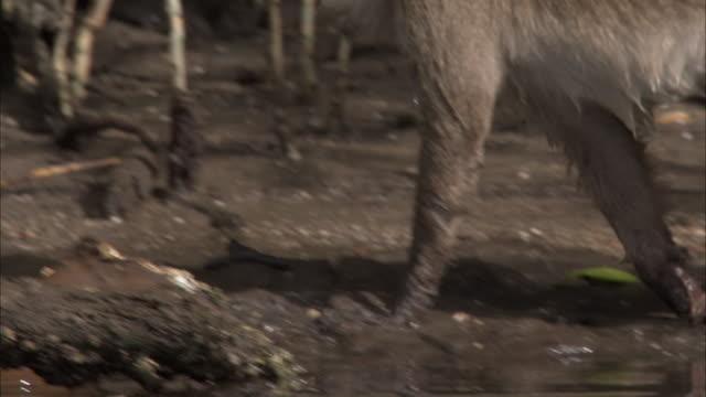 tilt up as crab eating macaque washes food in water then walks through mangroves. - neuweltaffen und hundsaffen stock-videos und b-roll-filmmaterial