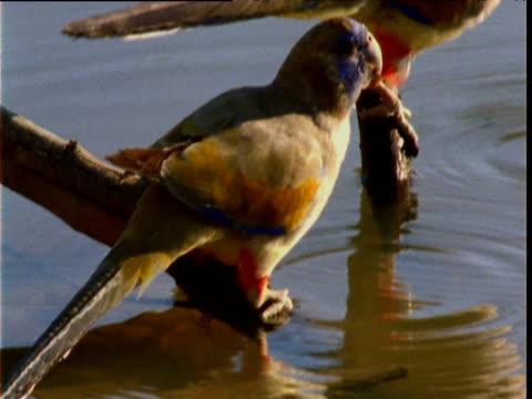 tilt up as pair of blue bonnet parrots drink from waterhole, new south wales, australia - böja sig bildbanksvideor och videomaterial från bakom kulisserna