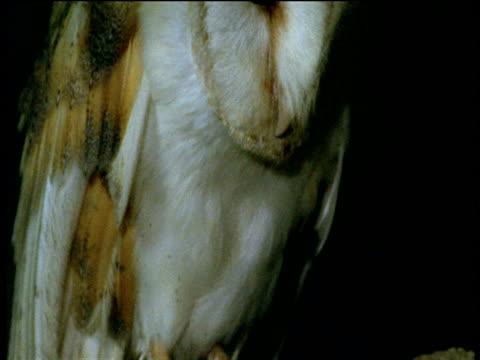 stockvideo's en b-roll-footage met tilt up barn owl from talons to head as owl calls, devon - klauw lichaamsdeel van dieren