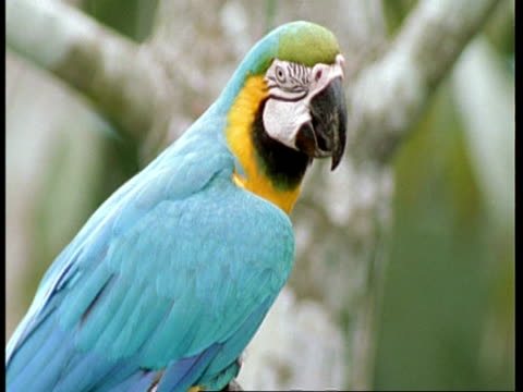 mcu tilt up, blue and yellow macaw swaying on branch, preening, south america - preening stock videos & royalty-free footage