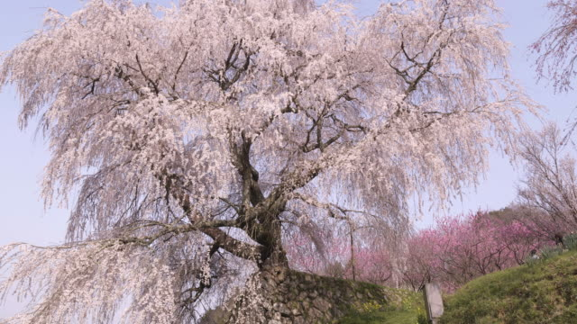 tilt up, cherry blossom in osaka - satoyama scenery stock videos and b-roll footage
