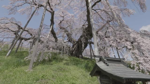 vídeos y material grabado en eventos de stock de tilt up, cherry blossoms in fukushima park - árbol de hoja caduca