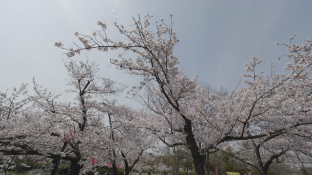 tilt up, cherry blossoms in osaka - satoyama scenery stock videos and b-roll footage